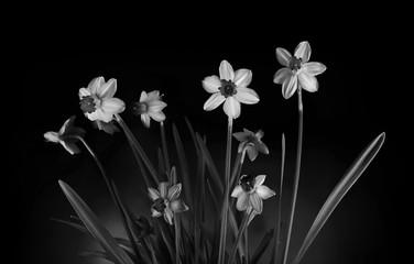 Black and White Daffodils