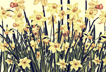 Daffodil Photoart Background - Retro