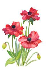Poppy flowers illustration on white background