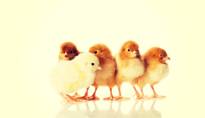 Group of small chicken.