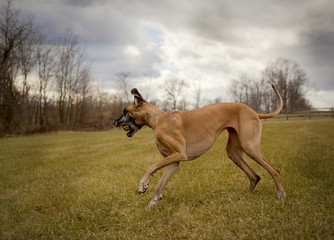 Great Dane frolicking under stormy sky in field