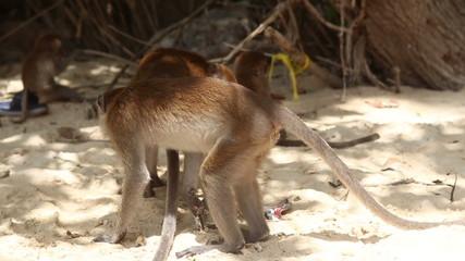 monkey finds food among other monkeys on a sandy beach