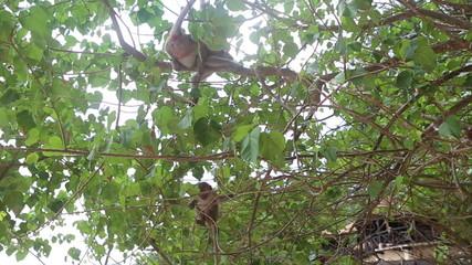 big monkey sit on a tree and small monkey climb under it