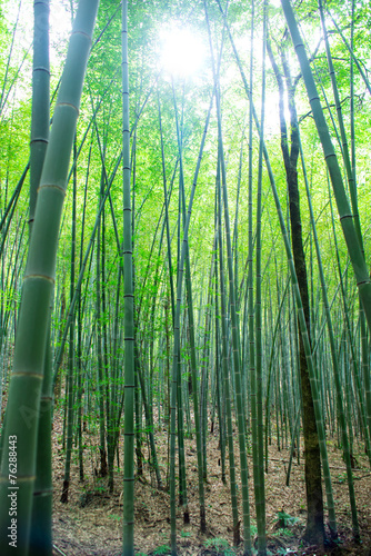 Foto op Canvas Bamboo sunlight through the bamboo grove