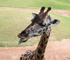 Black tongue of giraffe