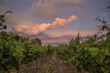 Sunset on grapevines
