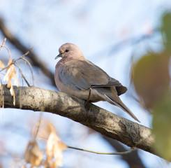 bird dove nature