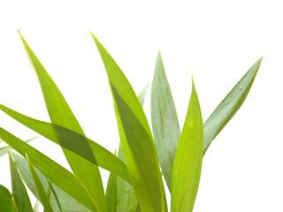 jeunes palmiers