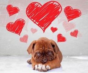 nieśmiała miłość dog de bordeaux puppy