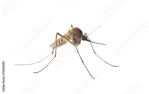 Macro of mosquito isolated on white - 76300050