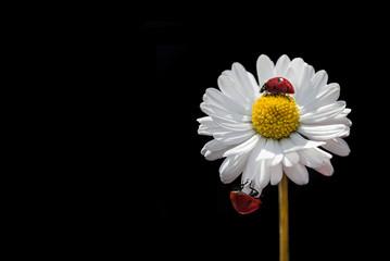 Ladybug,  flower