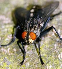 closeup of fly