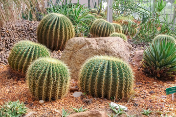 Golden Barrel Cactus in a Cactus garden.