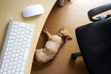 a Chihuahua sleeping under a desk