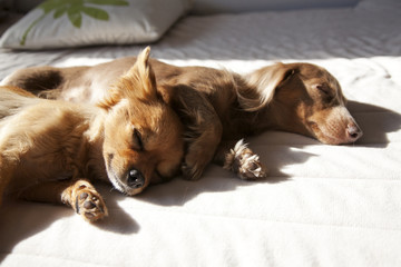 a Chihuahua and a Miniature Dachshund sleeping together