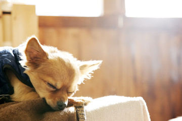 a Chihuahua sleeping on a sofa
