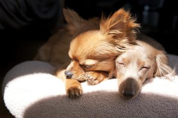 a Chihuahua and a Miniature Dachshund sleeping together