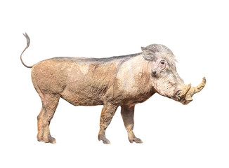 The Warthog (Phacochoerus africanus). Dangerous african mammal.