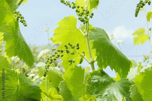 Papiers peints Arbre Vine burgeon with the initial formation of the cluster