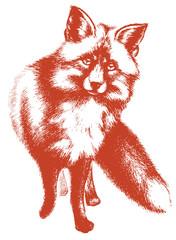 Little fox vector sketch