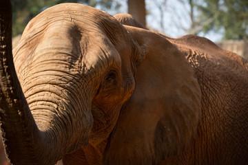 African Elephant raise the trunk.