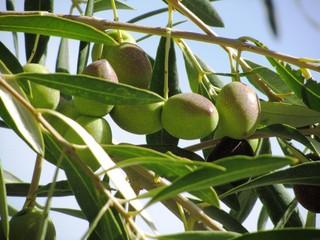 Reife & Große Oliven - Marokko
