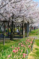 Cherry blossoms at the Yasuragi tsutsumi park in Niigata, Japan