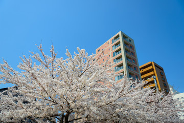 Cherry blossoms and Apartments