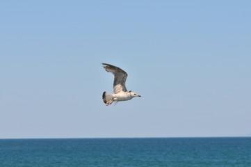 Mediterranean gull (Ichthyaetus melanocephalus)