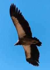 Flying Old World Vulture