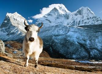 yak on pasture and ama dablam peak