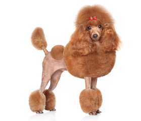 Red Toy-Poodle on a white background