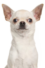 Chihuahua on white background