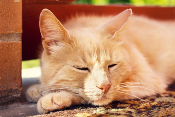 Sleeping ginger cat outdoors in summer