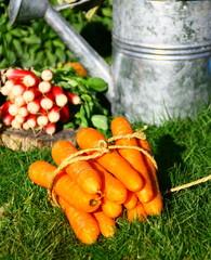 bottes de carottes et radis au potager