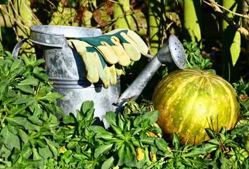 arrosoir et gants de jardinage,courge bio au potager