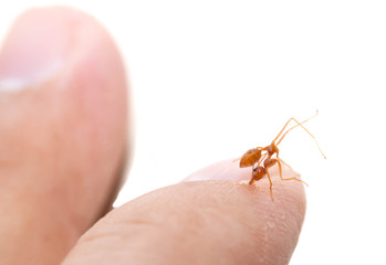 The angry ant attack to enemy by bite and spray citric acid