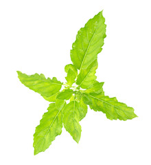 Fresh holy basil leaves on white