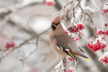 Bohemian Waxwing on a cold winter day