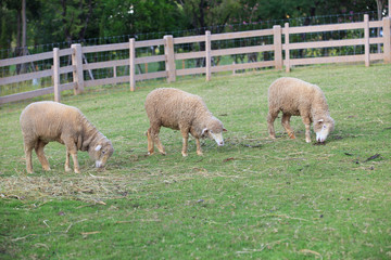 merino sheep feeding in green grass field of rural ranch farm