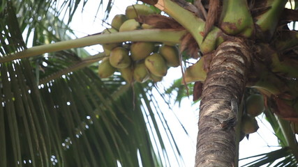 Indian rat-squirrel sit on green palm tree about coconuts and ea