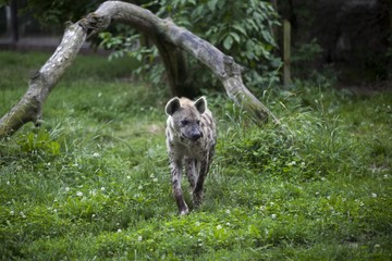 Hyena in zoo