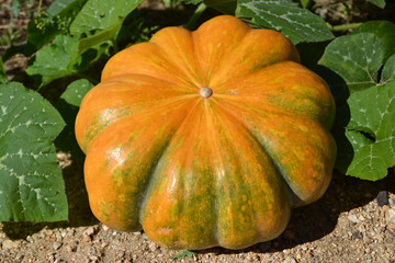 Pumpkin plants in a field