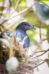 Pigeon nicobar