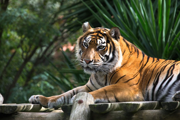Amur tiger lying on a platform of planks