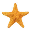 Caribbean starfish isolated on white background. - 76326676