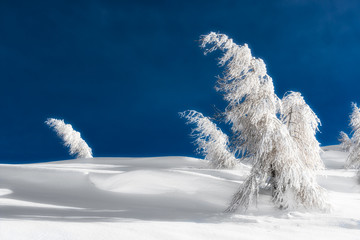 Isolated trees covered with snow