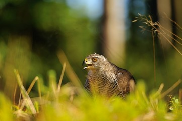 Northern goshawk head