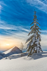 Lone pine tree in the snow