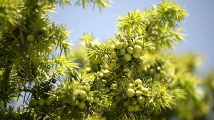 Wacholder, Pflanze und Beeren im Mörser